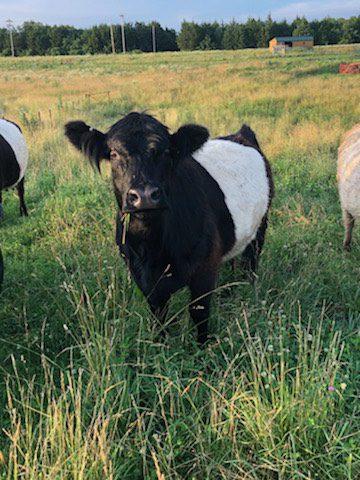 Jasmine Registered Belted Galloway Cow